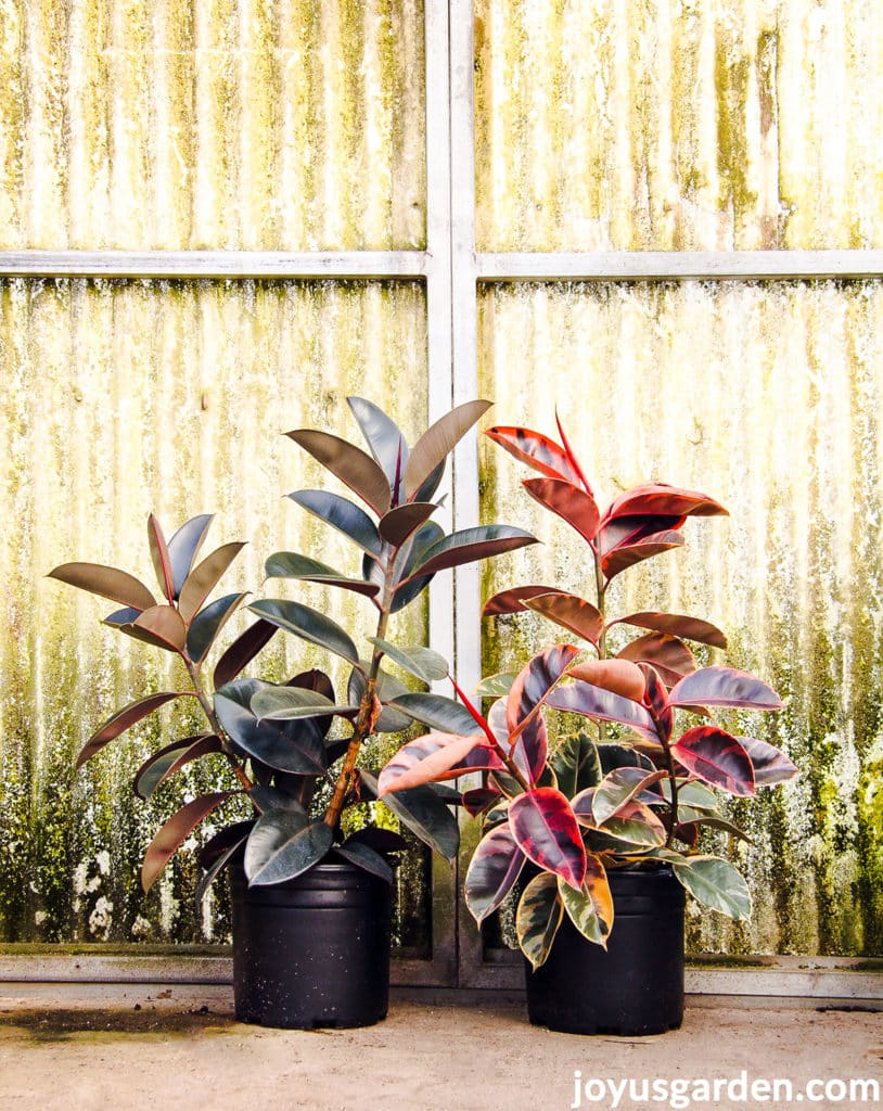 2 rubber plants ficus elasticas, 1 with deep green foliage & 1 with pink foliage, in a greenhouse