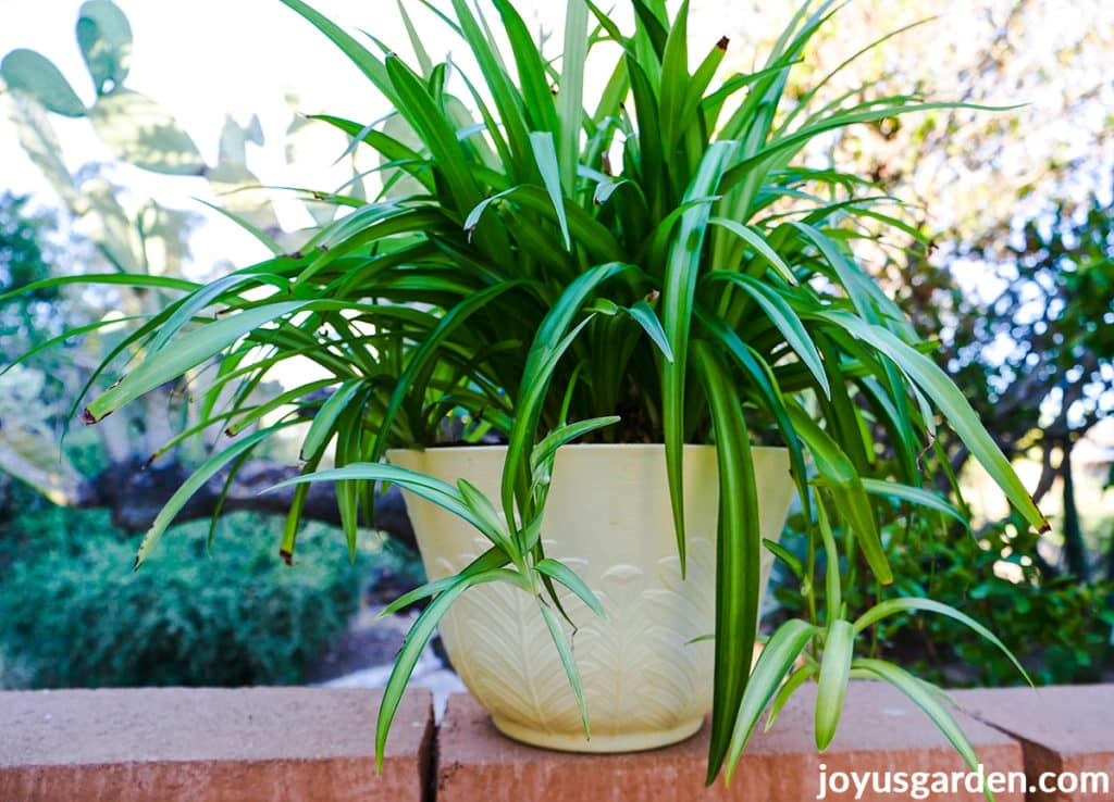 a spider plant with small babies sits on a brick wall