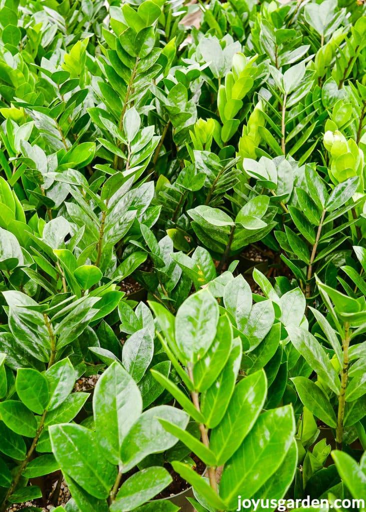 close up of many zz plants with glossy foliage