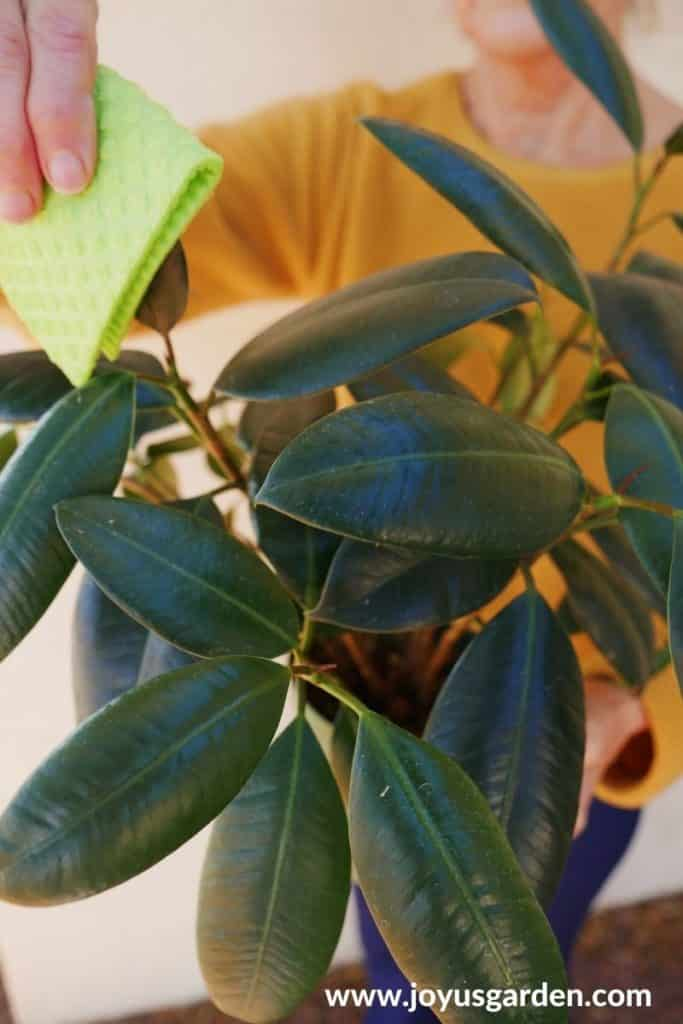 a hand holds a sponge which is cleaning a rubber plant ficus elastica