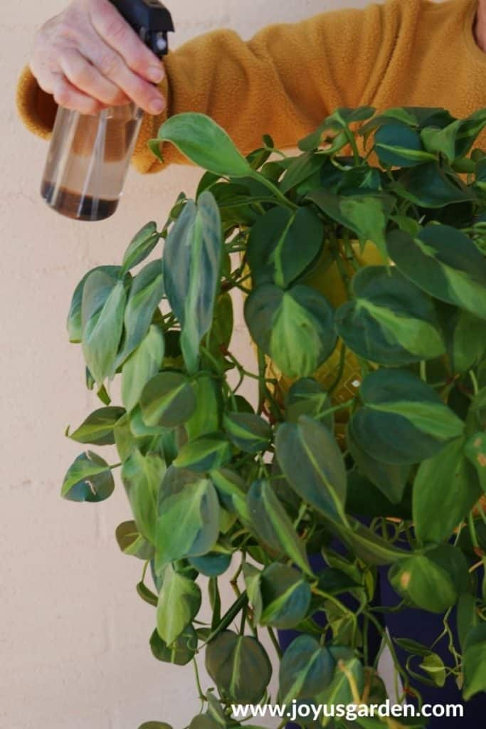 a hand holds a mister over a philodendron brasil houseplant with long trails