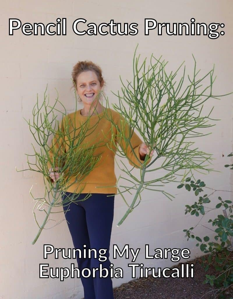 nell foster holds 2 large pencil cactus cuttings the text reads pencil cactus pruning pruning my large euphorbia tirucalli