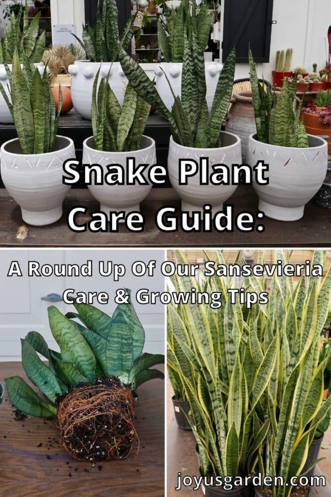 snake plants in pots