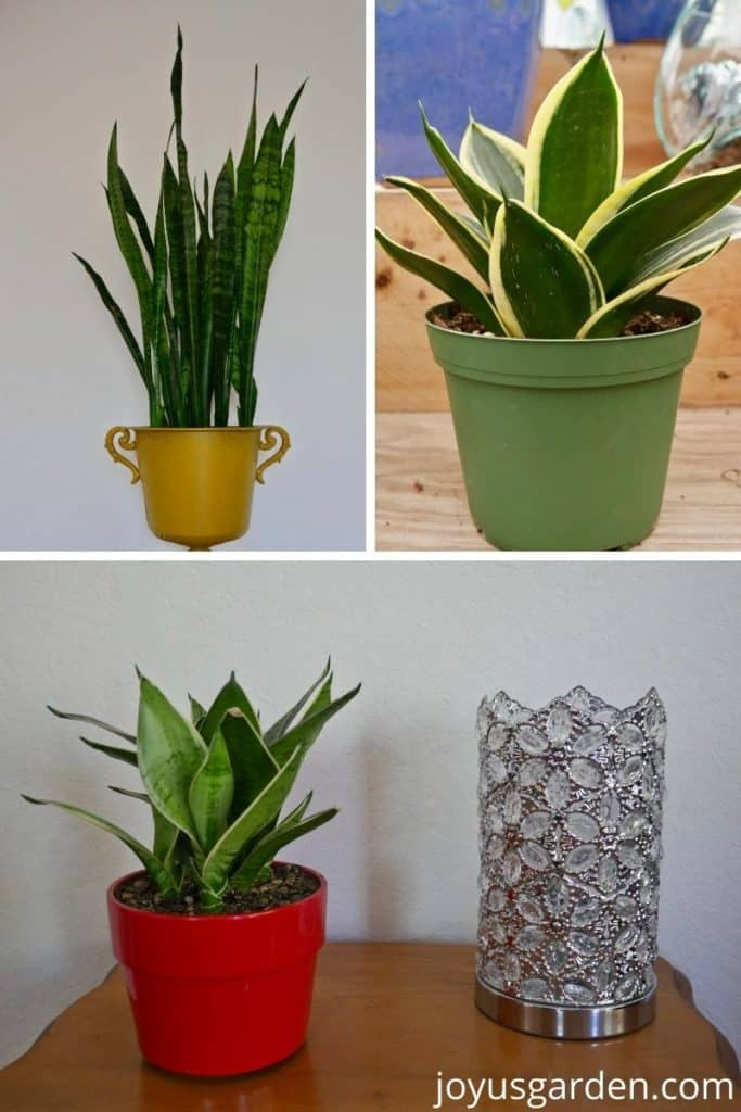 a snake plant in a yellow pot, a snake plant in a green pot, a small snake plant in a red pot next to a decorate silver pot