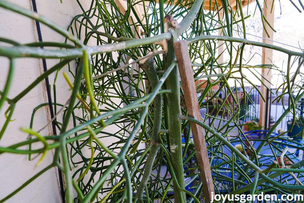 close up of a broken branch of a pencil cactus euphorbiia tirucalli