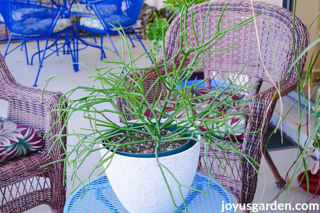 a small pencil cactus euphorbia tirucalli in a white pot sits on a blue table outdoors