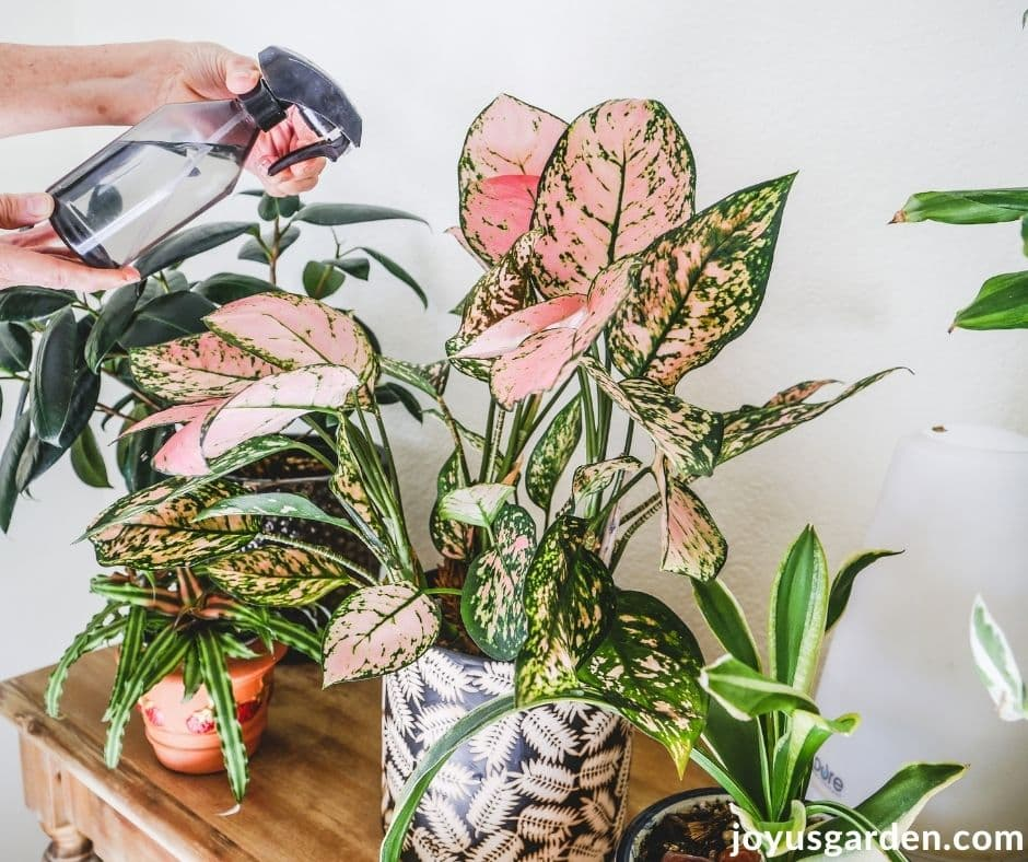 a pink agalonema chinese evergreen is being sprayed with a small mister