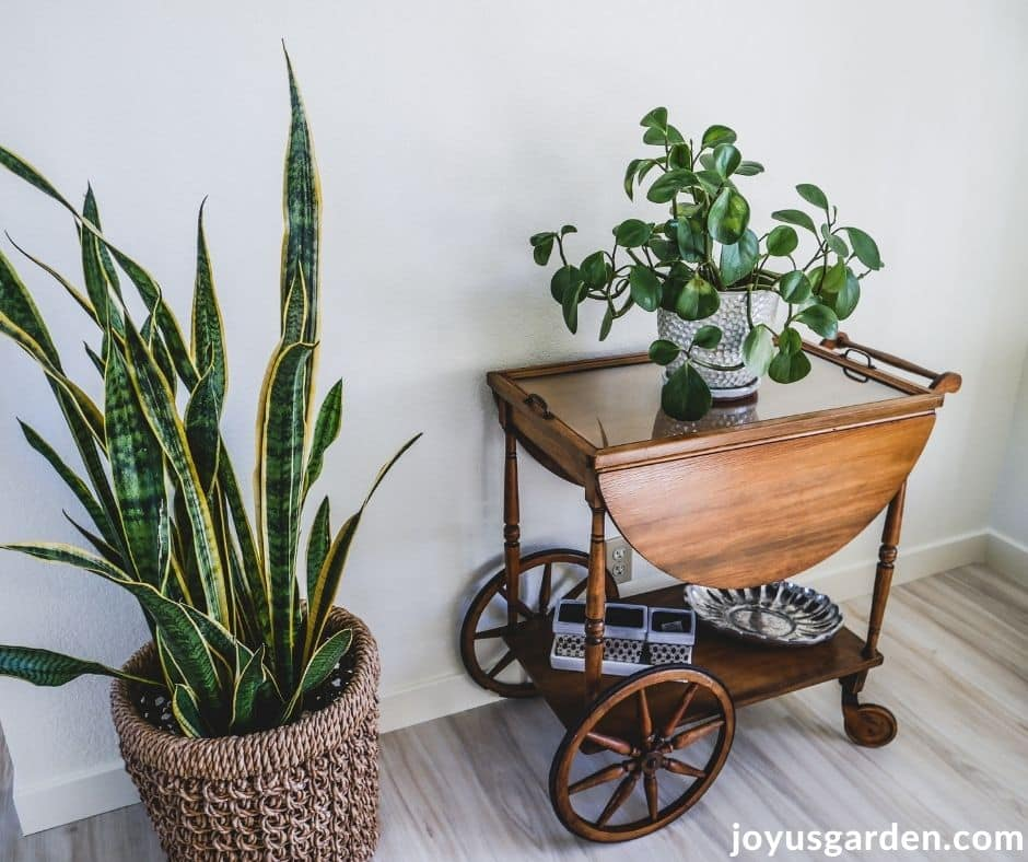 a tall snake plant on the floor grows next to a baby rubber plant on a tea cart