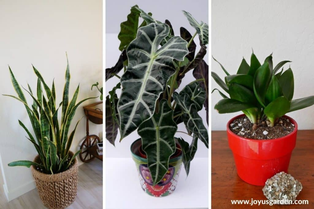 a collage of 3 photos showing a tall snake plant & african mask plant & birds nest sansevieria