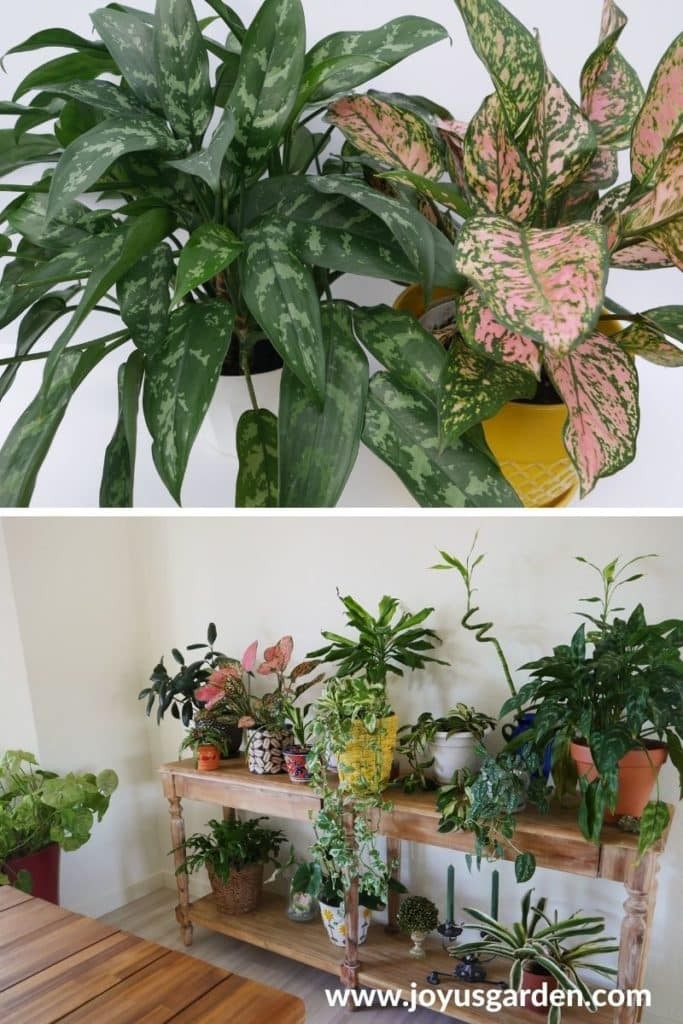 a collage with 2 houseplants at the top & a table filled with houseplants on the bottom