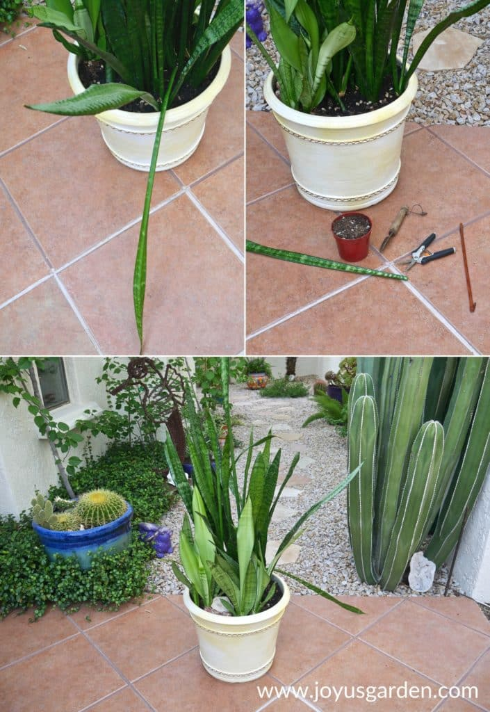 a collage of 3 photos with large pots of snake plants sansevierias