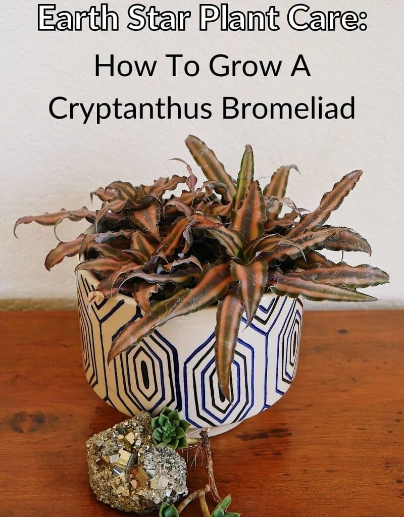 an earth star plant grows in a patterned pot on a wooden table the text reads earth star plant care how to grow a cryptanthus bromeliad
