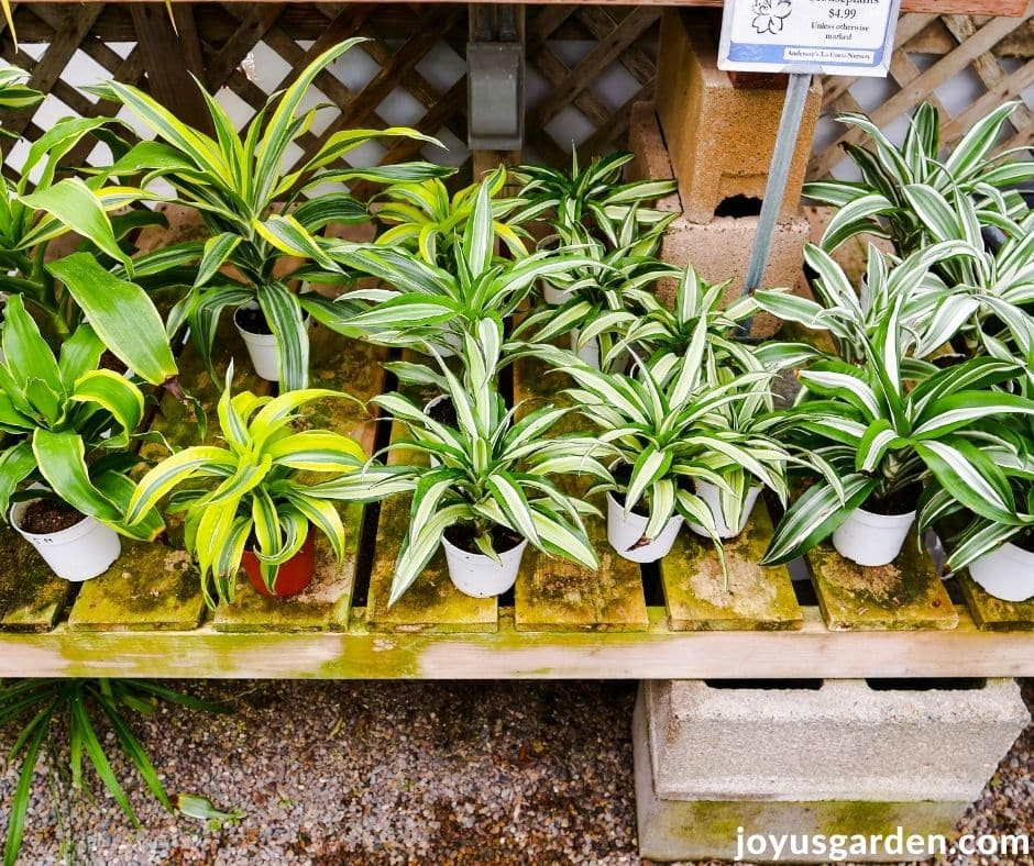 "looking down on a display of a variety of 4"" dracaena houseplants"