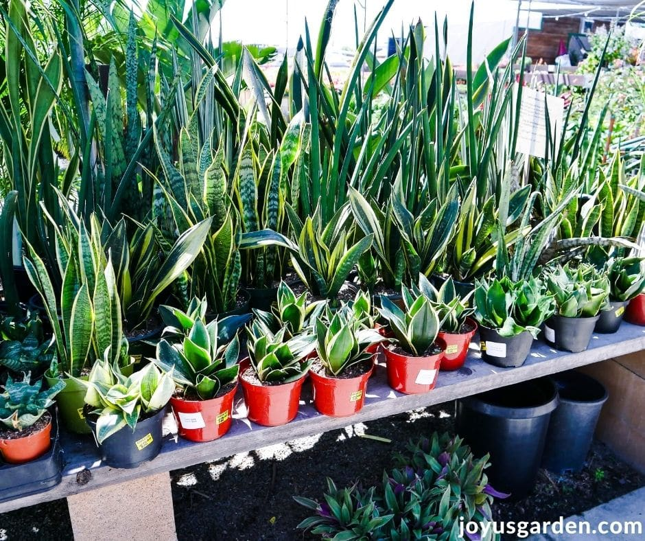 a table in a garden center full of different kinds of snake plants sansevierias