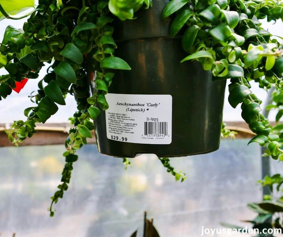 close up of the name of a houseplant & care instructions on the sticker on the grow pot