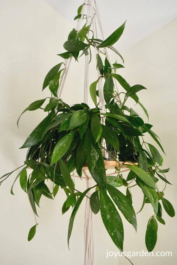 close up of a hoya houseplant on a hanging shelf