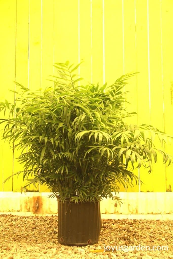 a neanthebella palm sits in front of a yellow wall in a greenhouse