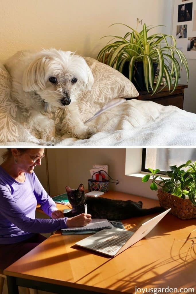 a collage of a white dog and a grey cat on a desk