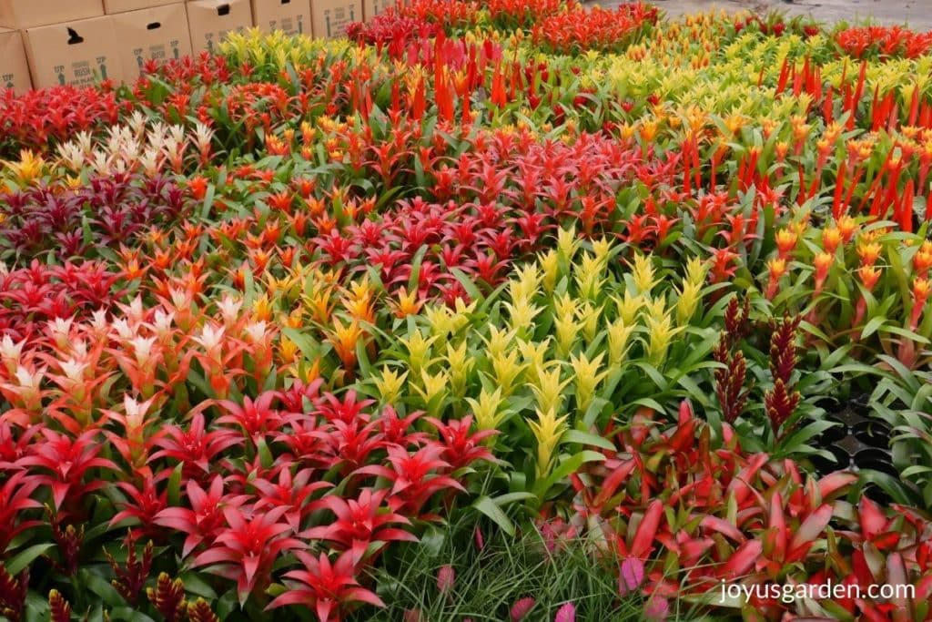 many different colors & types of bromeliads in a greenhouse