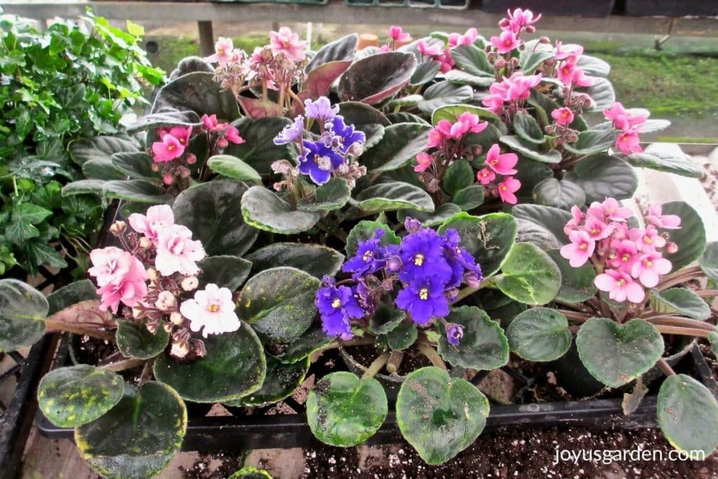 """close up of pink and purple African violets in 4"""" grow pots"""