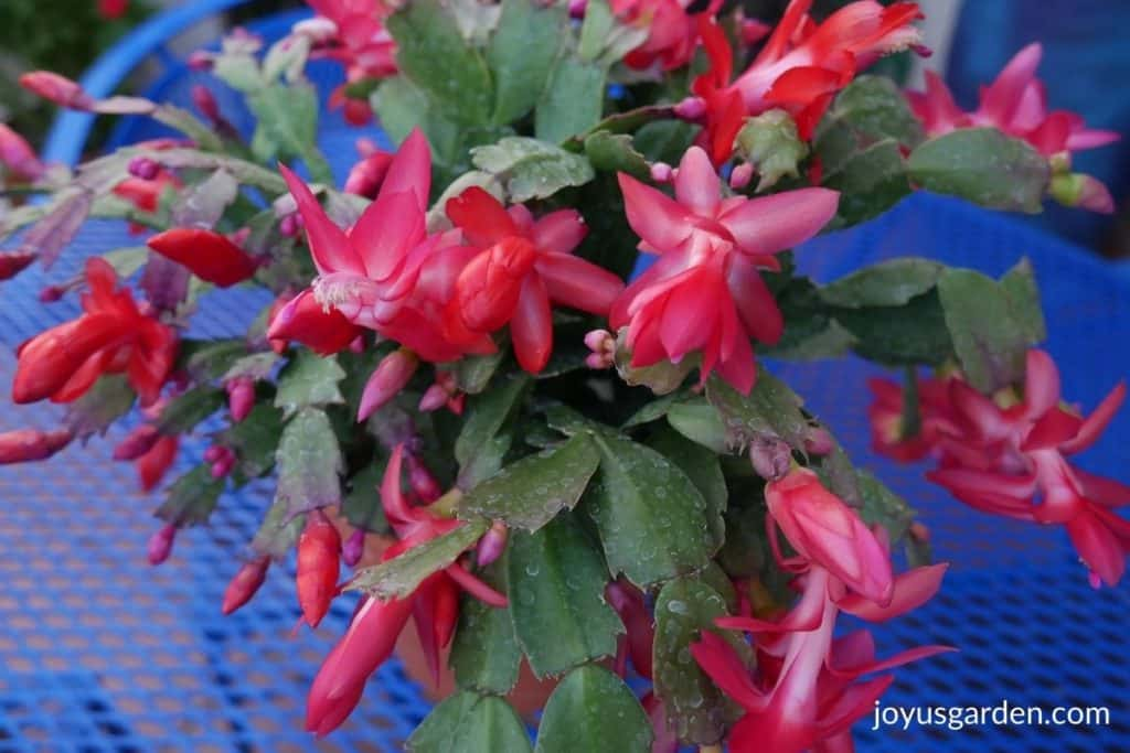 close up of a christmas cactus in bloom with red flowers