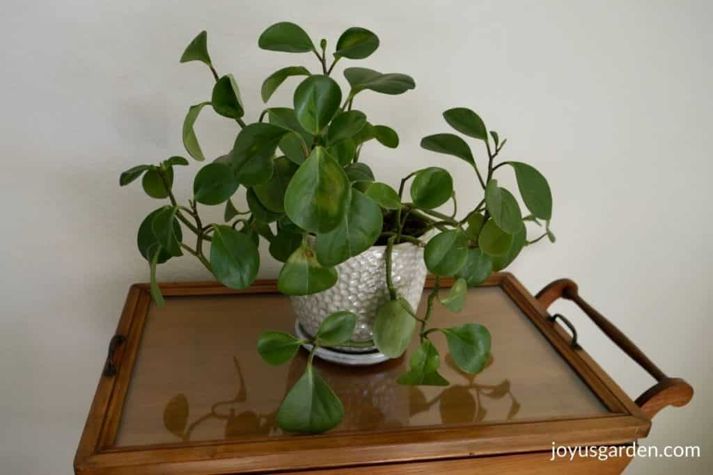 a baby rubber plant in a white ceramic pot sits on a tea chart