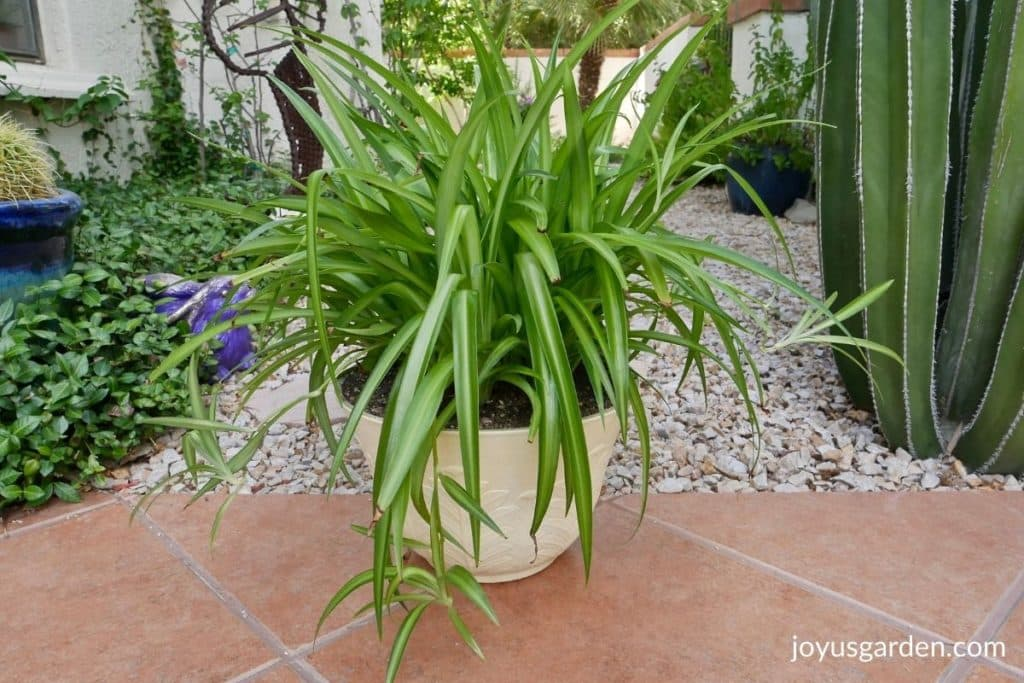 a spider plant in a pale yellow pot sits on a walkway surrounded by plants