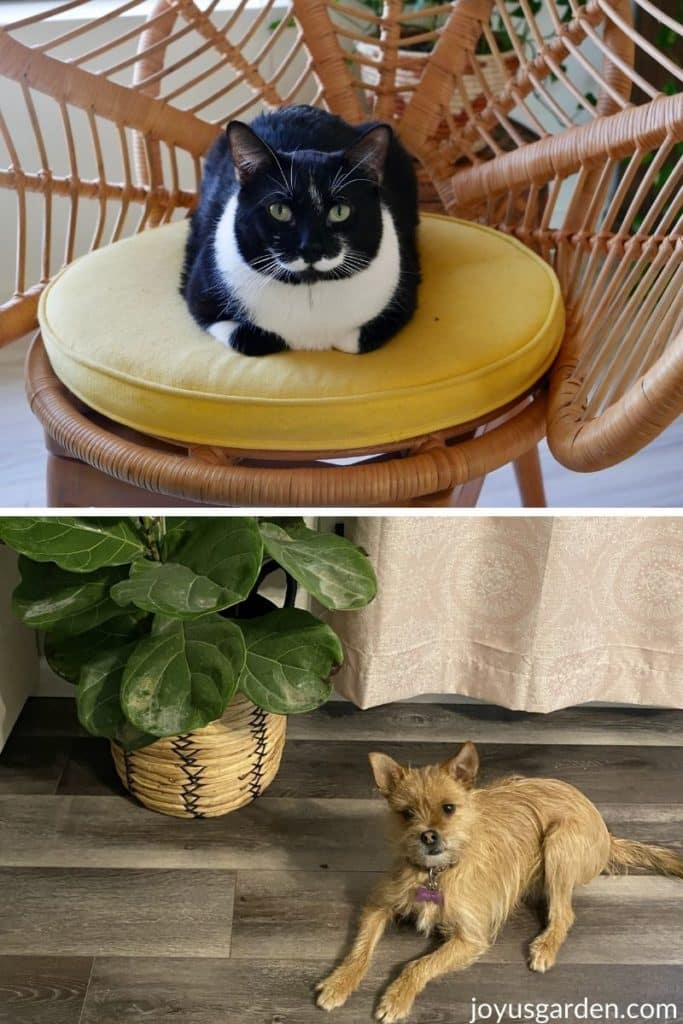 a black and white cat sitting on a chair and a tan dog near a fiddle leaf fig