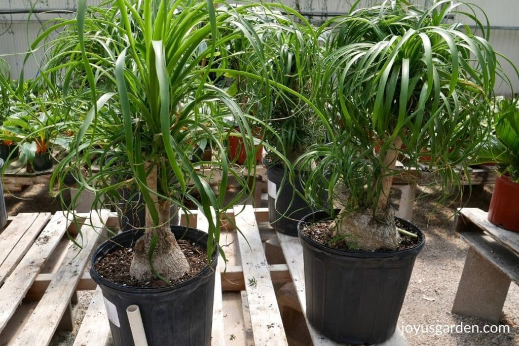 ponytail palms with trunks sit on a bench in a greenhouse