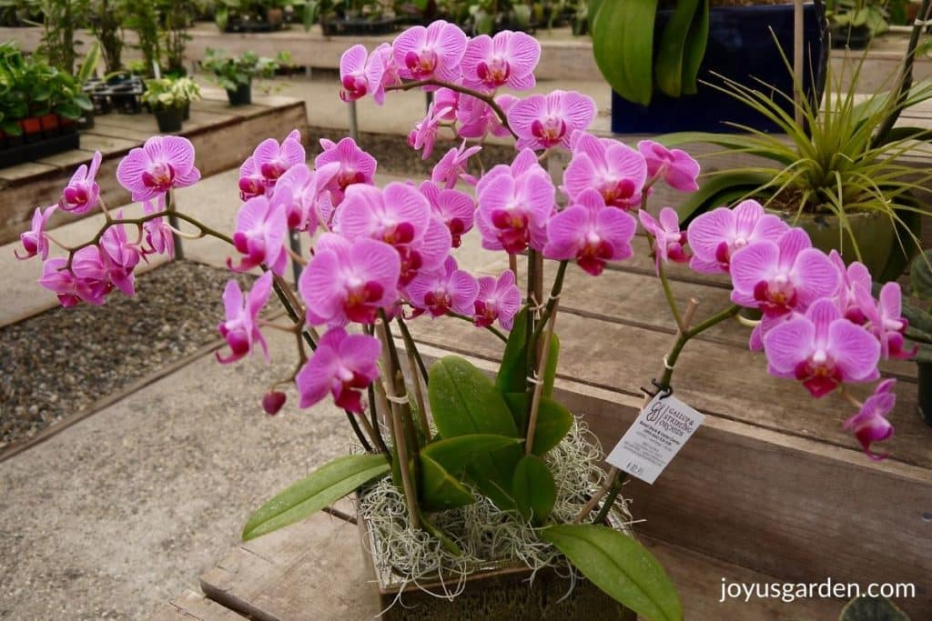 an arrangement of lavender phalaenopsis orchids in a ceramic dish