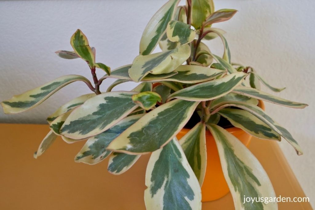 close up of a rainbow ginny peperomia in an orange ceramic