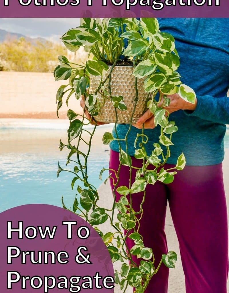 a woman holds a pothos plant with long trails the text reads pothos propagation how to prune & propagate pothos