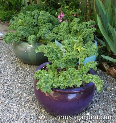 kale plants growing in 3 ceramic pots