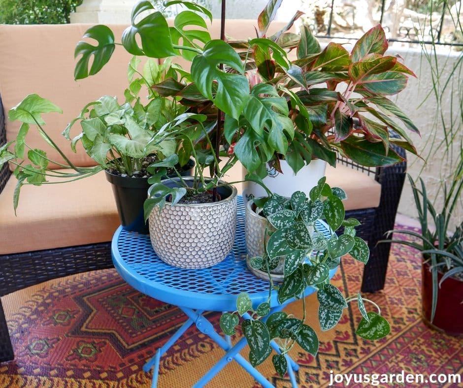 an arrowhead plant, raphidophora tetrasperma, red aglaonema, & satin pothos houseplants sit on a patio table