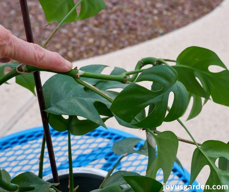 a finger points at the root node on the stem of a raphidophora tetrasperma monstera minima houseplant