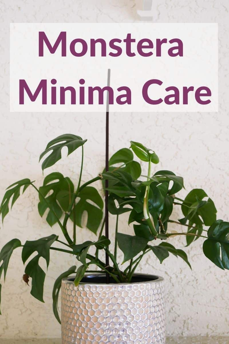 a rhaphidophora tetrasperma grows in a white textured ceramic pot the text reads monstera minima care