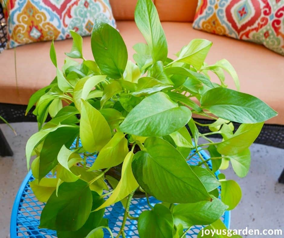 a neon pothos with bright chartreuse foliage sits on a patio table