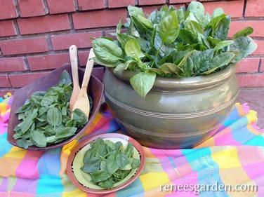 container baby leaf spinach in a pot, in a bowl & on a plate