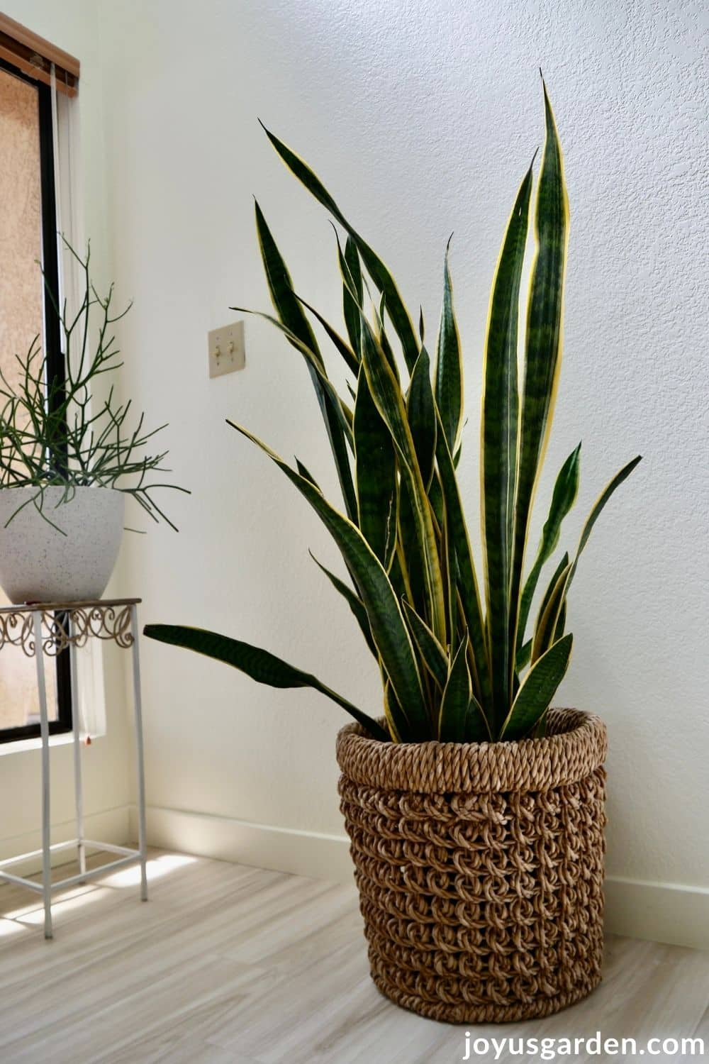 a large snake plant sansevieria in a basket sits on the floor next to a pencil cactus