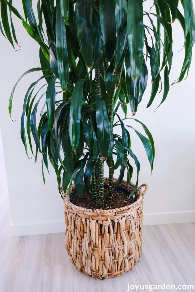 a large dracaena lisa houseplant sits in a large basket with handles