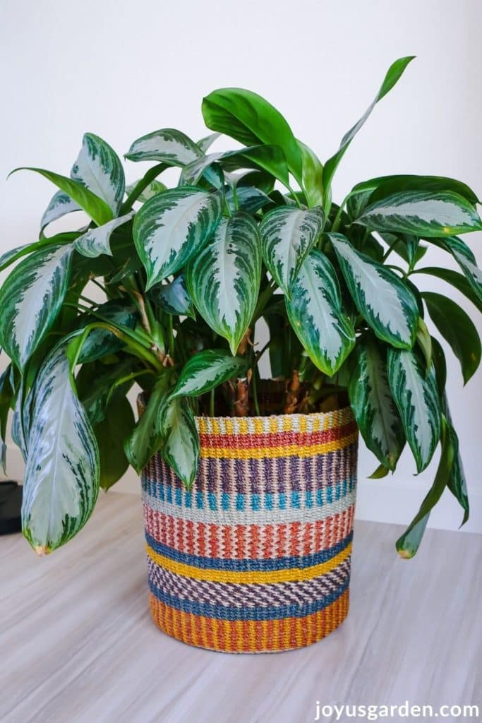 a large agalonema chinese evergreen silver bay sits in a large brightly colored basket