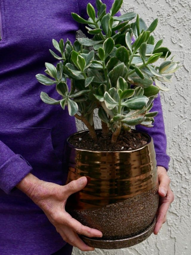 cropped-low-maintenance-jade-plant.jpg