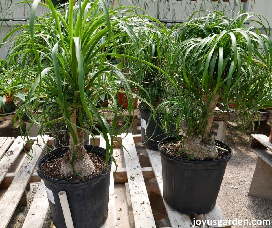 ponytail palms with trunks & multiple heads sit on a pallet bench in a greenhouse