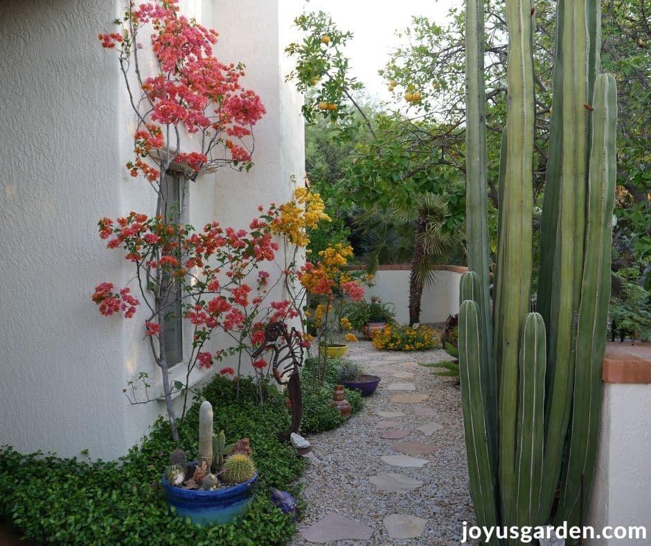 a tuscon desert garden with bougainvilleas cacti & a gravel walkway