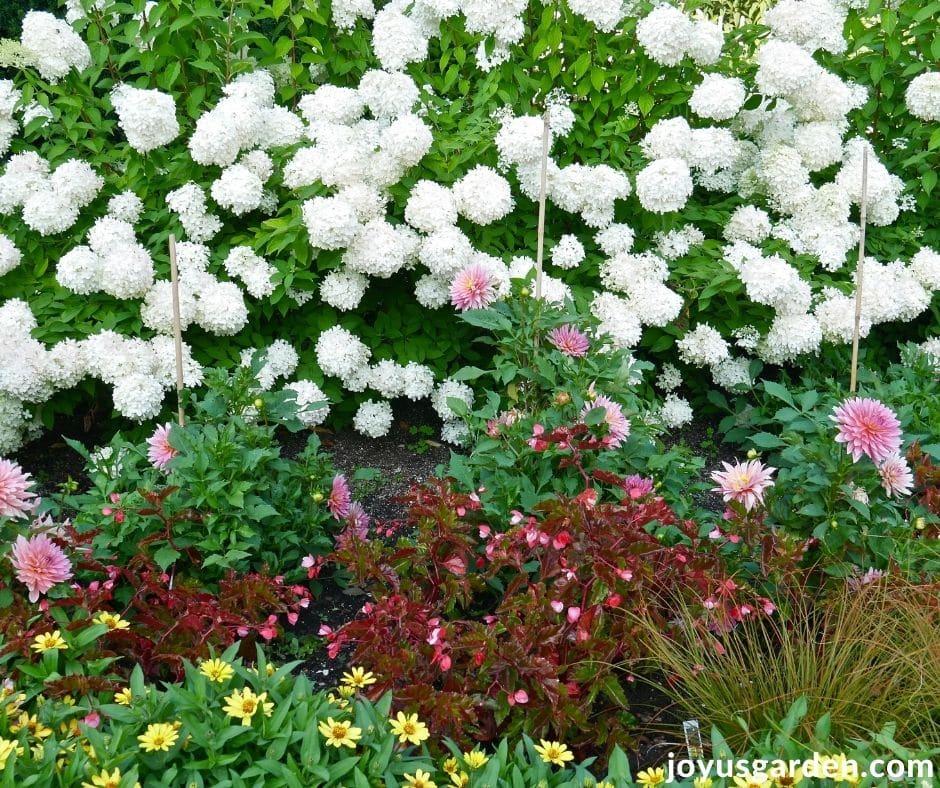 a beautiful garden with white hydrangeas begonias dahlias & zinnias in bloom