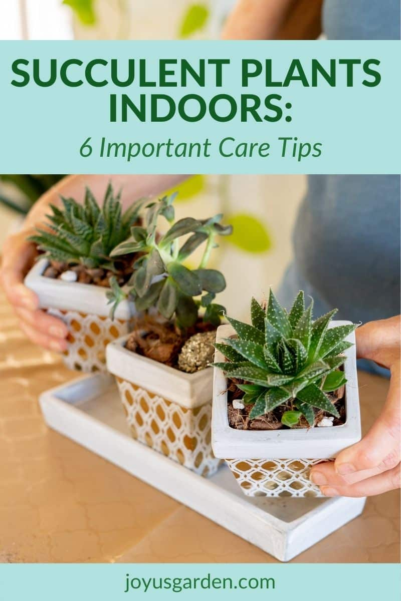 3 small succulents in small gold guilded containers are held by 2 hands the text reads succulent plants indoors 6 important care tips