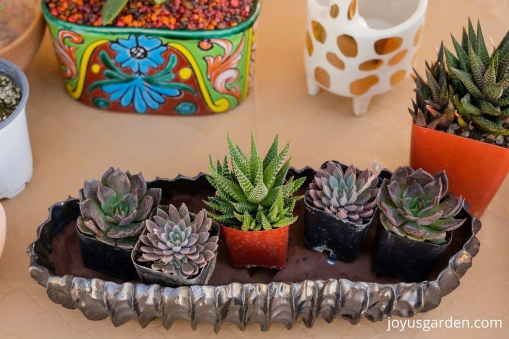 close up of small succulents & decorative pots