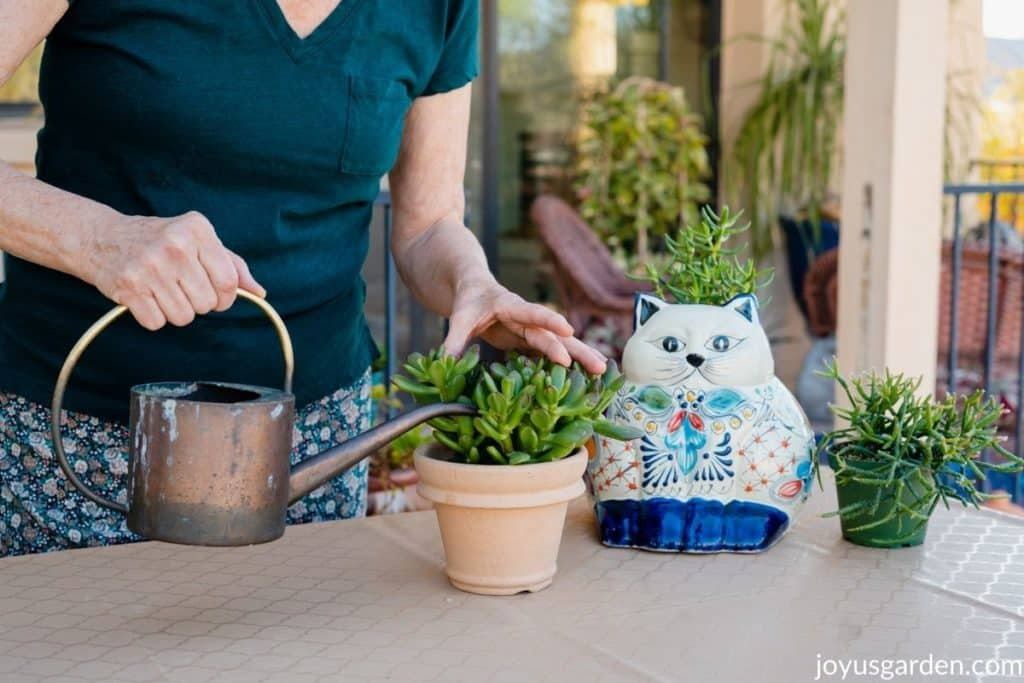 a woman is watering a small jade plant succulent 2 other succulents plus a cat ceramic pot sit next to it