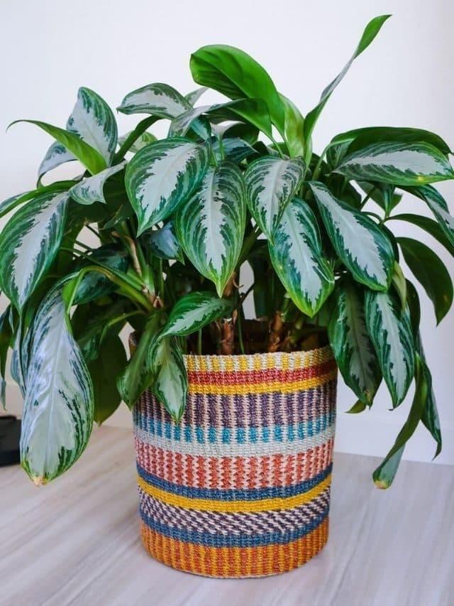 Stylish Baskets for Large Houseplants