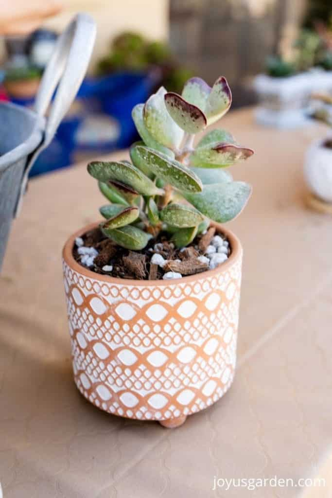 close up of a small calico hearts succulent plant in a patterned terra cotta pot